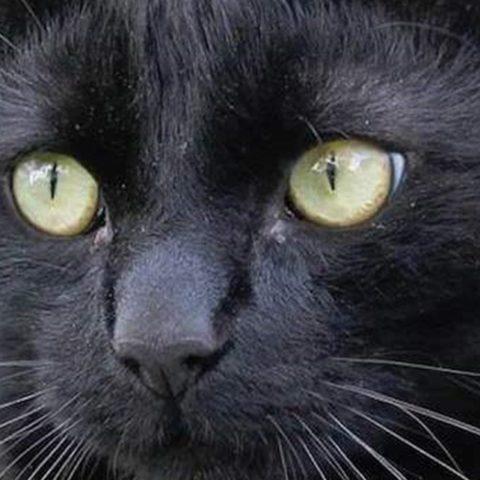 Fakta Tentang Kucing Hitam, Bawa Sial Atau...?