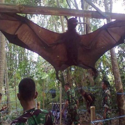 Ngerinya Megabats, Kelelawar Berukuran Raksasa